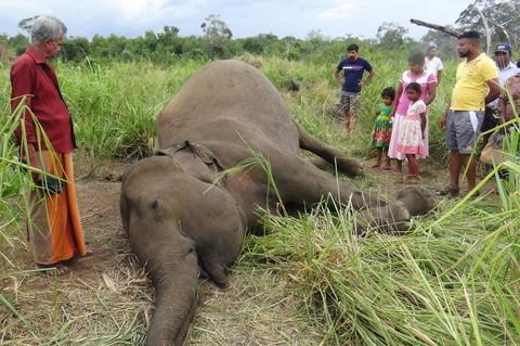 Strage di elefanti in Sri Lanka: le autorità sospettano avvelenamento