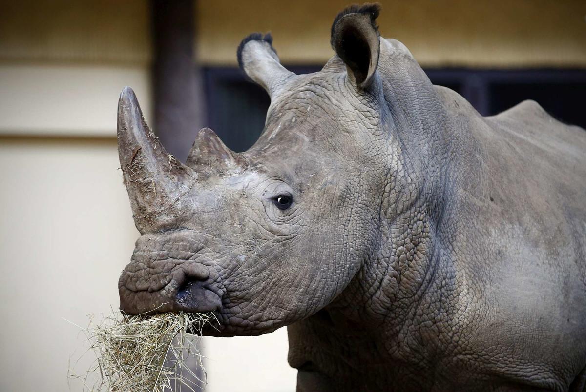 Festa al Bioparco di Roma: dopo 20 anni arrivati due rinoceronti bianchi