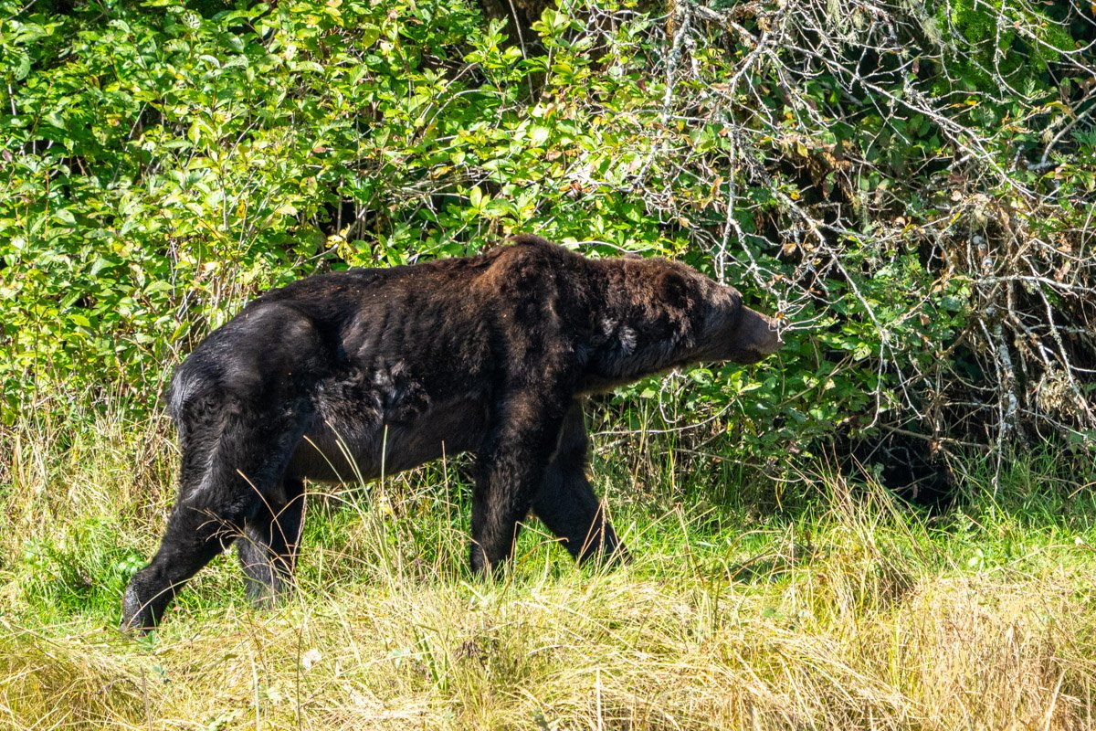 Canada, i grizzly stanno morendo di fame per la mancanza di salmoni nei fiumi