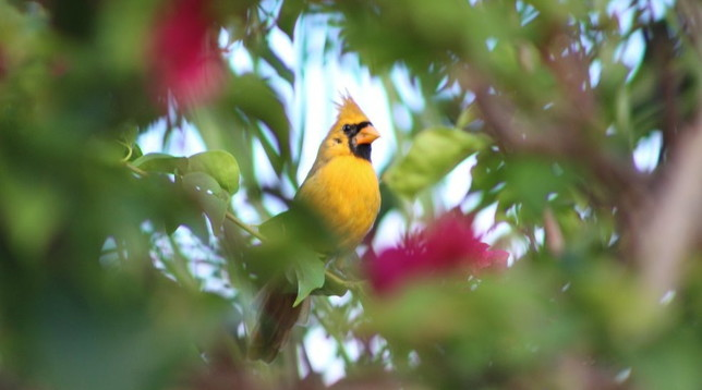 Florida, il caso del cardinale rosso che però è giallo dilaga sul web