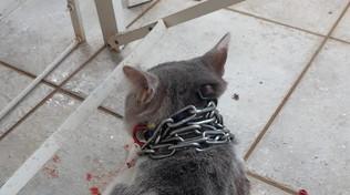 Latina, gatto con la catena al collo lanciato in un giardino: caccia al colpevole