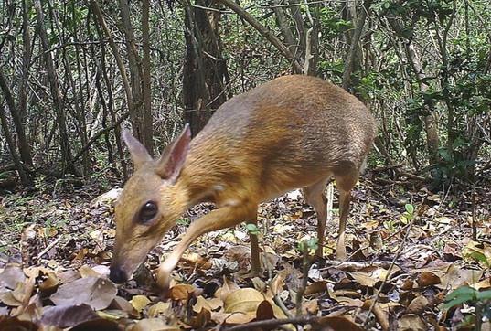 """Il """"topo-cervo"""" non si è estinto: avvistato in Vietnam dopo 30 anni"""