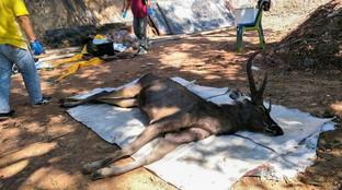 Thailandia, cervo trovato morto con 7 chili di plastica nello stomaco