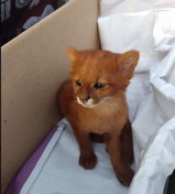 Sembrava un gatto randagio, ma il cucciolo è un piccolo puma