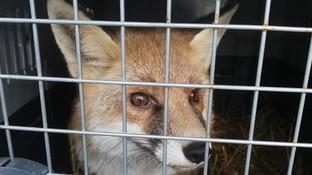 Lucio trova casa per Natale: la nuova vita della volpe-mascotte del Torinese