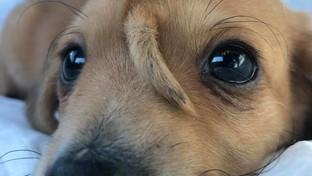 """Minacce di morte al """"cane unicorno"""": il piccolo Narwhal non sarà dato in adozione"""