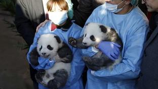 """Germania, """"battezzati"""" i panda gemelli nati nello zoo di Berlino"""