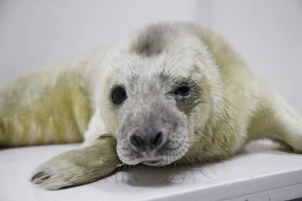 """Ecco Olaf, il cucciolo di foca grigia che è """"strizza l'occhio""""    video"""