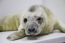 Ecco Olaf, il cucciolo di foca grigia che