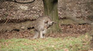 Verona, è nato un canguro al Parco Natura Viva