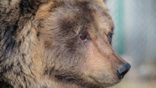 E' morta Lauretta, l'orsa di Pescasseroli ambasciatrice della specie per i turisti