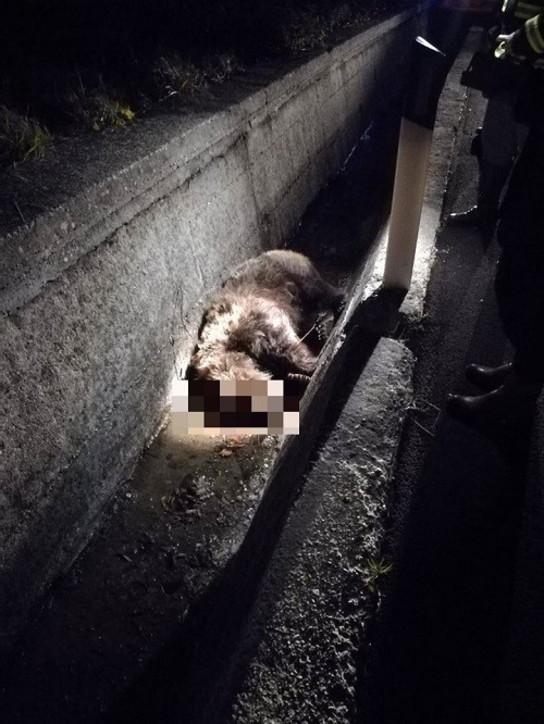 """Mamma orsa investita e uccisa nella notte di Natale nell'Aquilano, il Parco Nazionale d'Abruzzo agli automobilisti: """"Fate attenzione, il cucciolo la cerca"""""""