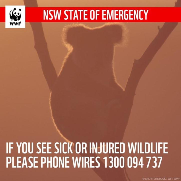 Australia, Wwf: 8mila koala dispersi in incendi, morti 480 milioni di animali