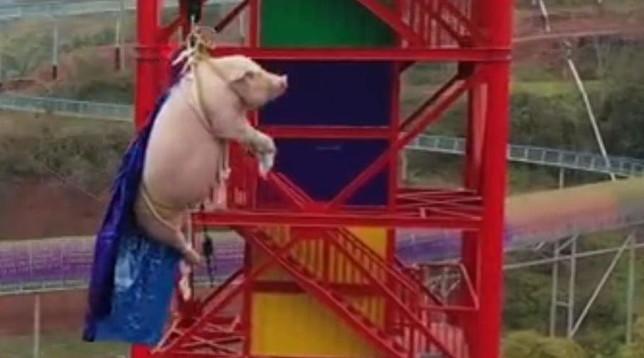 Cina, maiale vivo lanciato dalbungee jumpingper inaugurare un parco