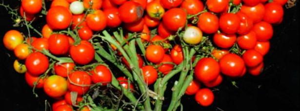 Pomodori come grappoli d'uva