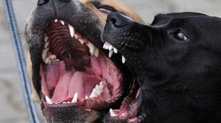 Cani, svolta a Milano: in Consiglio comunale l'ok al patentino per le razze pericolose