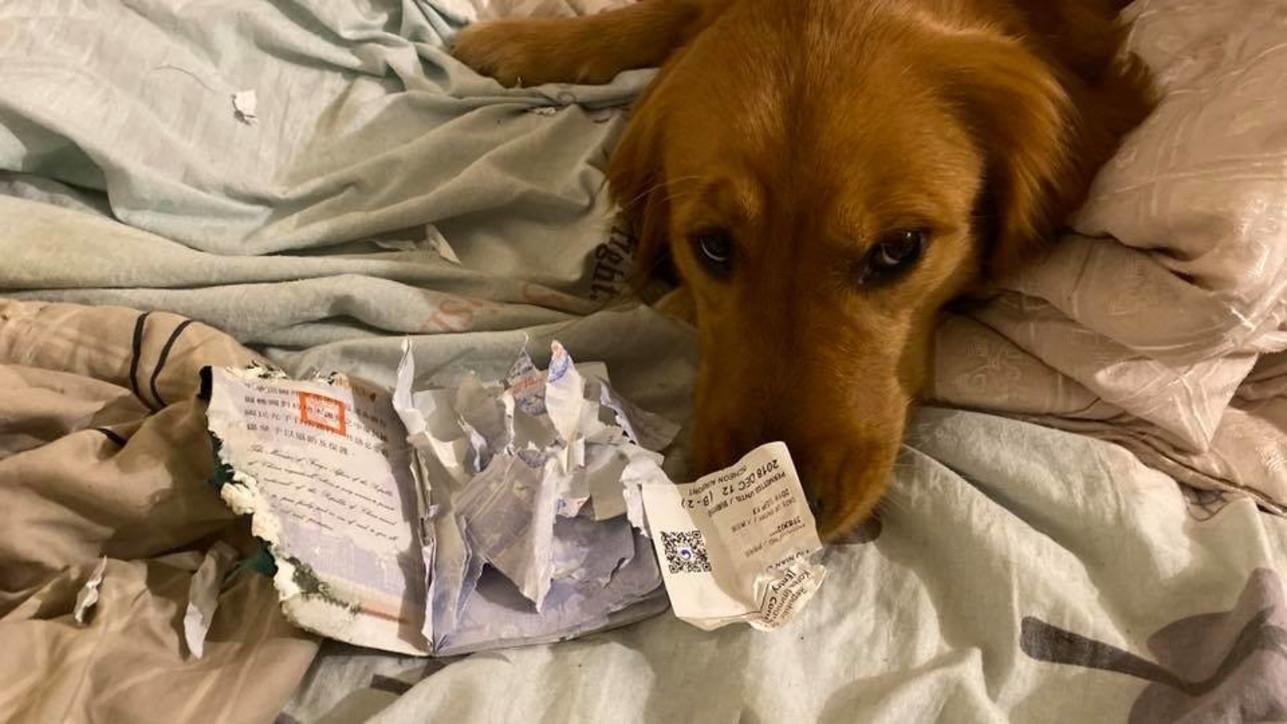 """Virus Cina, cane distrugge il passaporto e """"salva"""" la padrona dal viaggio a Wuhan"""