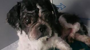 La rinascita del cane senza volto: dopo la segregazione una nuova vita per Birillo