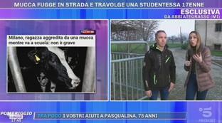 """Mucca aggredisce studentessa, la testimonianza del contadino: """"L'ho bloccata io"""""""