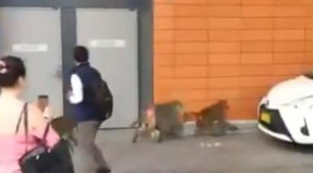 Sydney, babbuino fugge con due esemplari femmine prima della sterilizzazione   Video