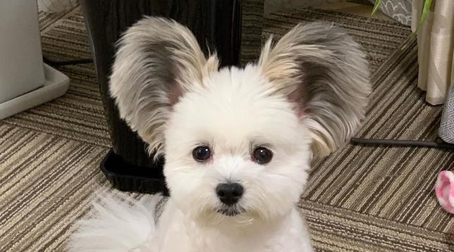 Giappone, Goma: il cane con le orecchie da Topolino è una star di Instagram