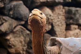 Ecco Diego, la tartaruga centenaria che ha salvato la sua specie dall'estinzione... procreando