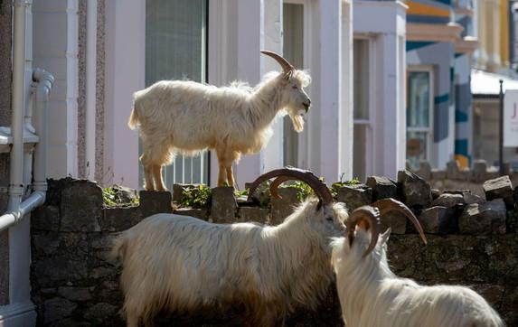 """Galles chiuso in casa per il coronavirus: gregge di capre """"conquista"""" la città"""
