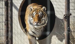 Tigre dello zoo del Bronx positiva | Il presidente dell'associazione dei veterinari a Tgcom24: