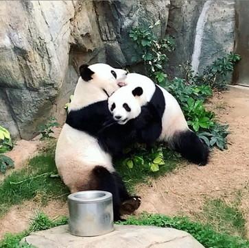 I panda giganti Ying Ying e Le Le all'Ocean Park di Hong Kong