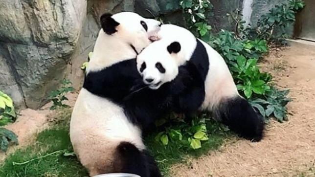 I panda giganti Ying Ying e Le Le all'Ocean Park di Hing Kong