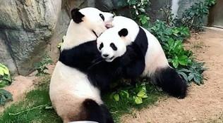 Zoo chiuso per coronavirus e la coppia di panda (dopo 10 anni) riesce ad accoppiarsi