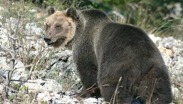 Trentino, catturato (di nuovo) l'orso M49