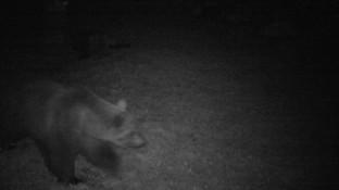 """L'orso della Val d'Ossola va a caccia di miele e ci lascia """"lo zampino"""": fotosegnalato dalla polizia provinciale"""