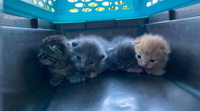 Usa, trovati gattini con mutazione genetica: hanno più artigli per ogni zampa