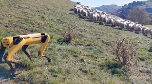 Nuova Zelanda, ecco il cane pastore robot che sorveglia e guida le pecore