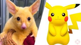 Australia: salvato un piccolo opossum dorato, ma la rete crede sia Pikachu