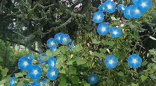 E' maggio: seminiamo le campanelle blu?