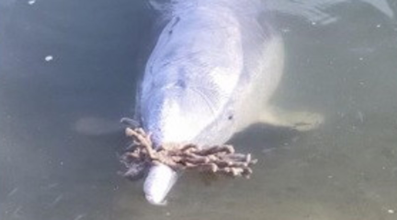 Australia, i delfini rimasti soli durante il lockdown portano doni sulle spiagge