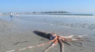 Sudafrica, calamaro gigante si spiaggia a Città del Capo: è mistero