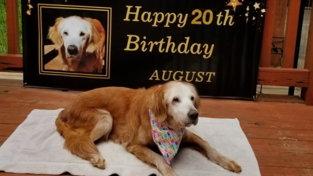 Usa, August compie 20 anni: è il Golden Retriever più longevo al mondo