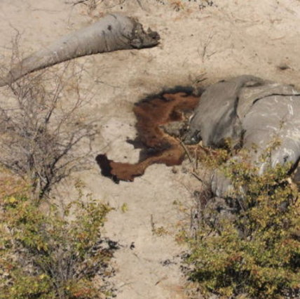 Morte misteriosa di elefanti in Botswana: centinaia di pachidermi trovati vicino a pozzanghere