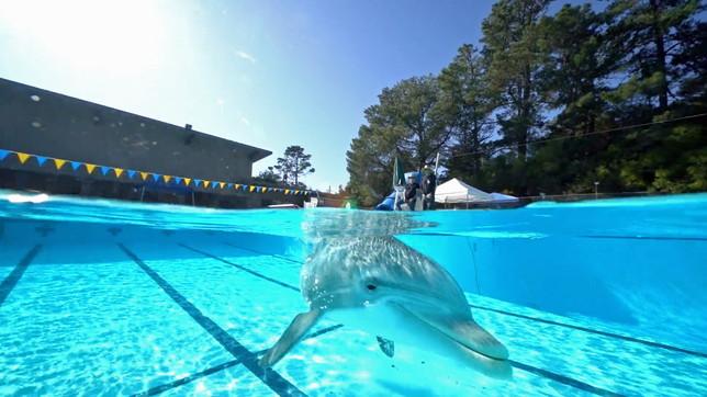 California, l'incredibile delfino robot che nuota nel parco acquatico