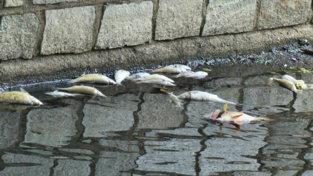 Strage di pesci nel Milanese: cosa sta accadendo al fiume Olona?