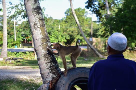 Asia, le crudeli immagini dei macachi sfruttati e maltrattati per la raccolta delle noci di cocco