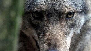 Salento, turista aggredita da un lupo in un villaggio