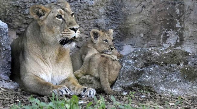 AlBioparcodi Roma nati due leoncini asiatici: il nome lo sceglieranno i bambini