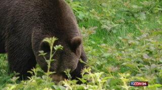 Abruzzo, uccise un orso nel 2014: la corte d'appello lo condanna a risarcire il Parco e le associazioni ambientaliste