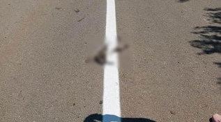 Romania, operai rifanno la segnaletica stradale e passano sopra al gatto morto