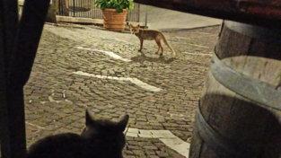 Isernia, la volpe arriva a mezzanotte e... diventa la star del paese