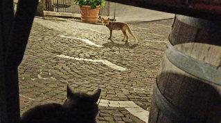 A mezzanotte arriva... la volpe: paese del Molise adotta la mascotte che cerca cibo in piazza